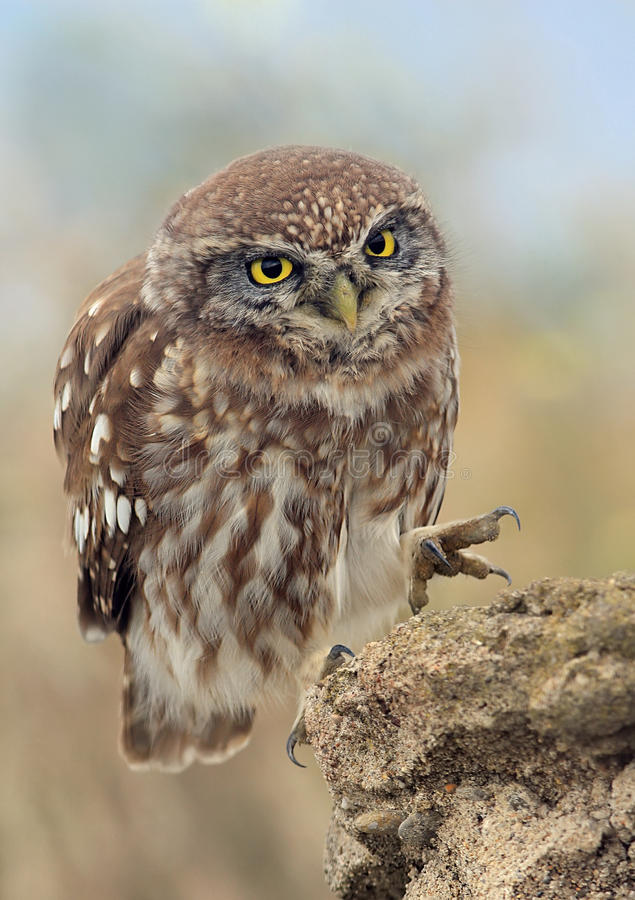 Download Little Owl (Athene Noctua) stock image. Image of feathers - 17680811
