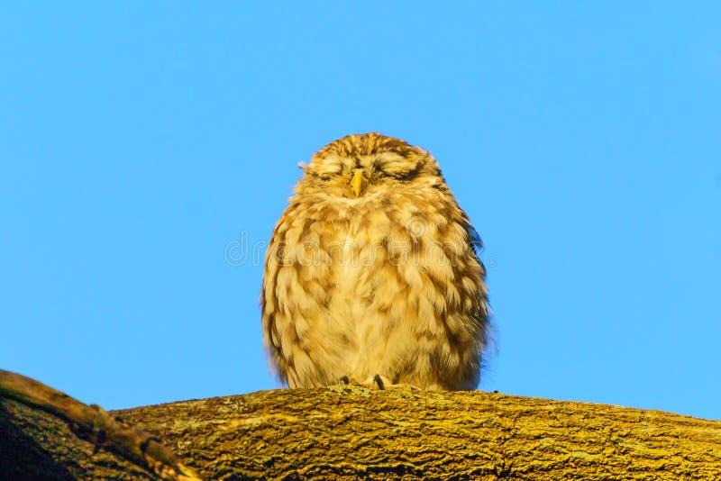 Little Owl (Athene noctua) na niebieskim tle na oddziale, w Wielkiej Brytanii obrazy stock