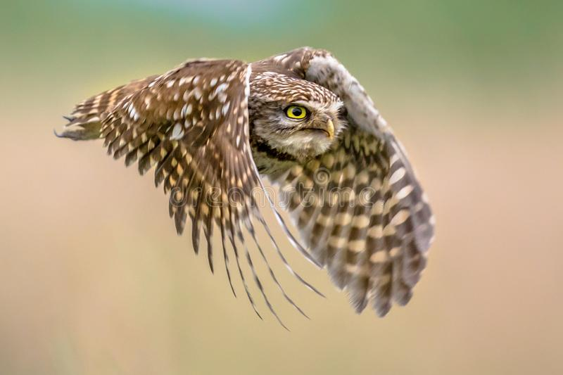 Little Owl flying on blurred background close up stock photography