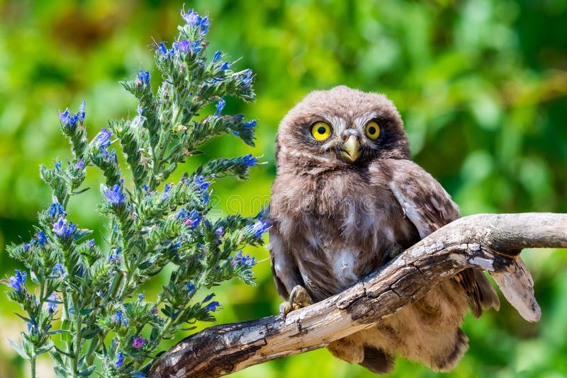 Little owl or Athene noctua on wooden branch with flowers. On green background, bird, wild, nature, wildlife, animal, eye, predator, feather, looking, nocturnal royalty free stock photography
