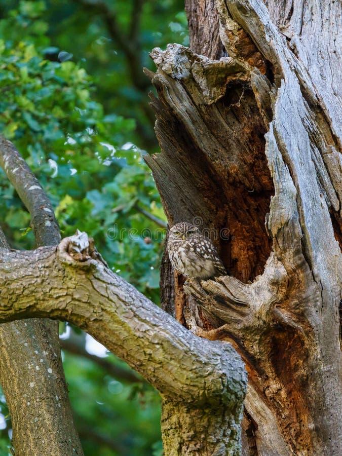 Little Owl & x28;Athene noctua & x29; wyłaniające się z dziury w drzewie o zmierzchu, zabrane w Wielkiej Brytanii fotografia royalty free