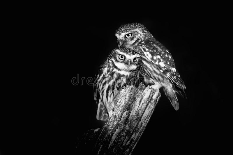 Little Owl & x28;Athene noctula& x29; stock photography