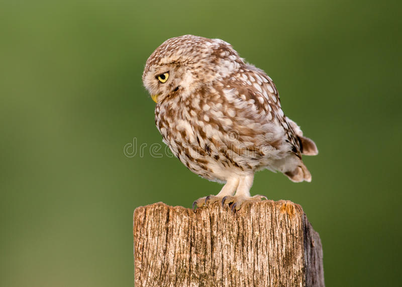 Little owl bird stock photos