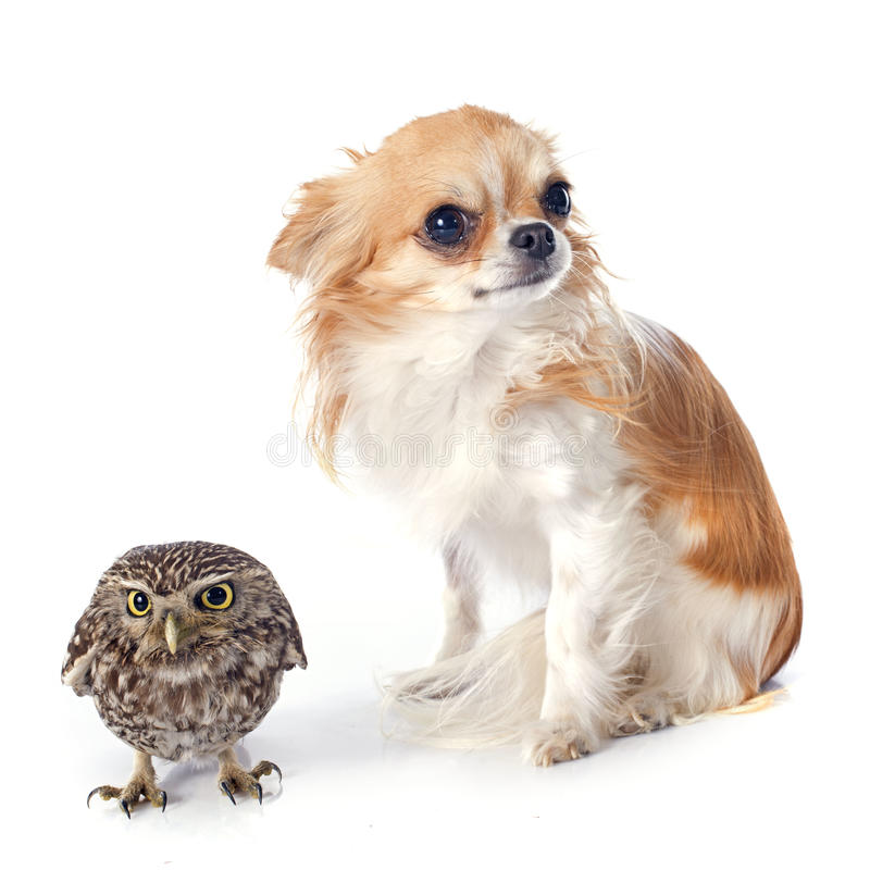 Little owl and chihuahua. In front of white background royalty free stock photo