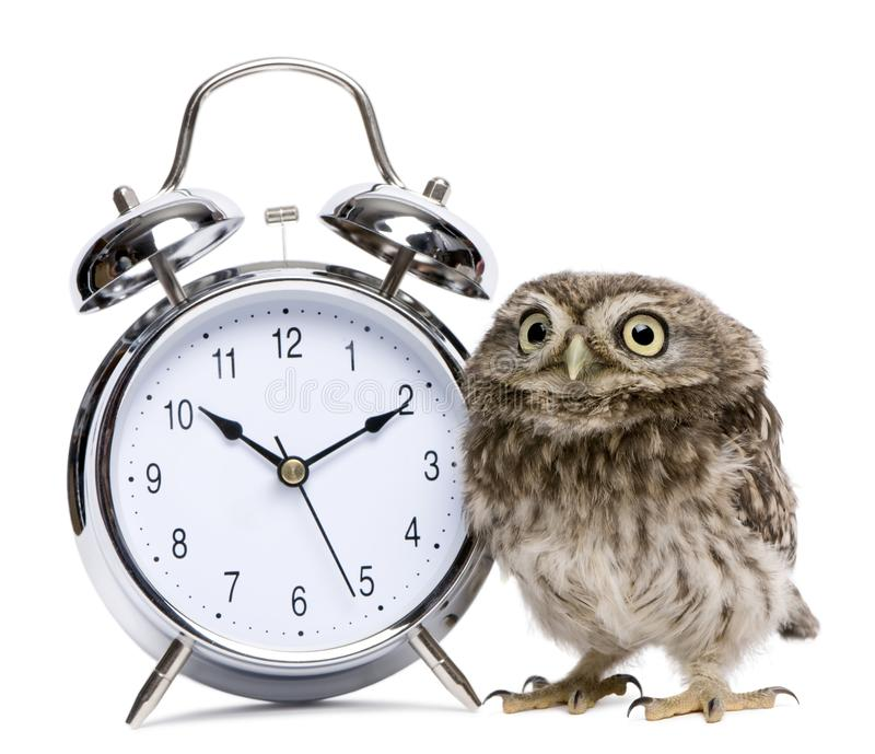 Little Owl, 50 days old, Athene noctua royalty free stock image