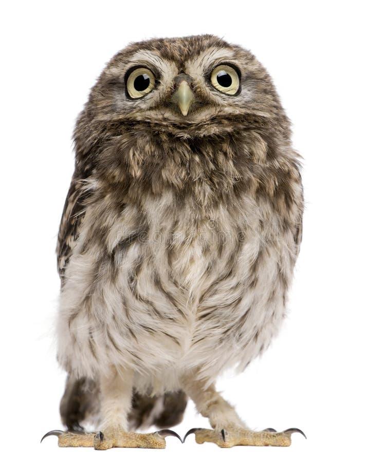 Little Owl, 50 days old, Athene noctua stock photo