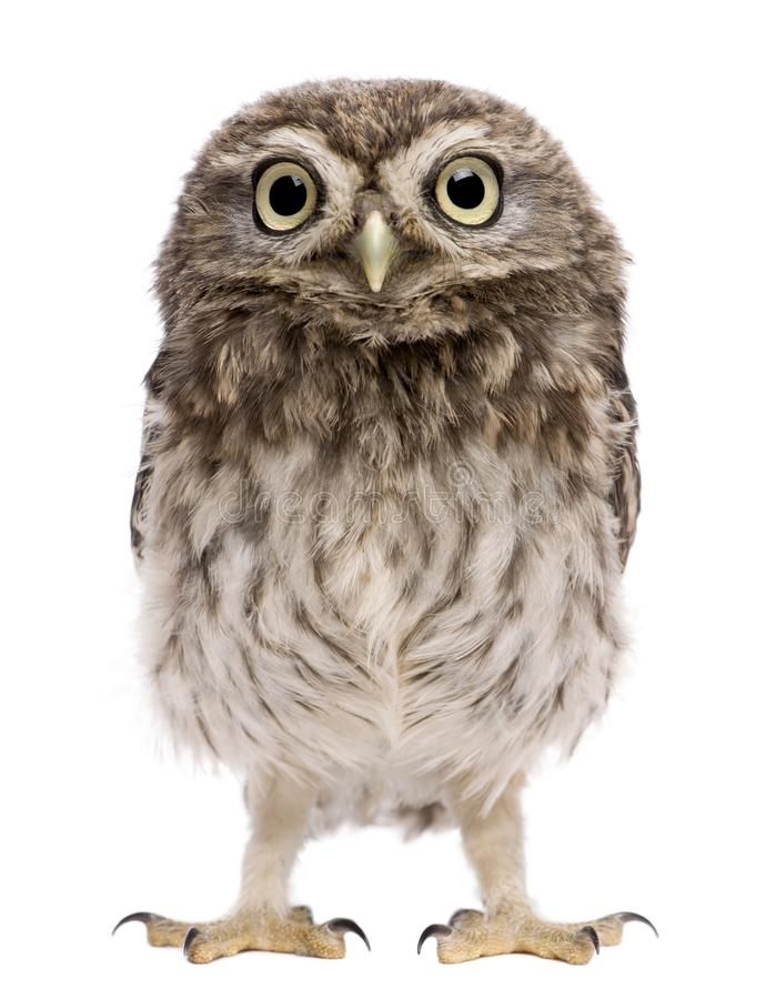 Little Owl, 50 days old, Athene noctua stock photos