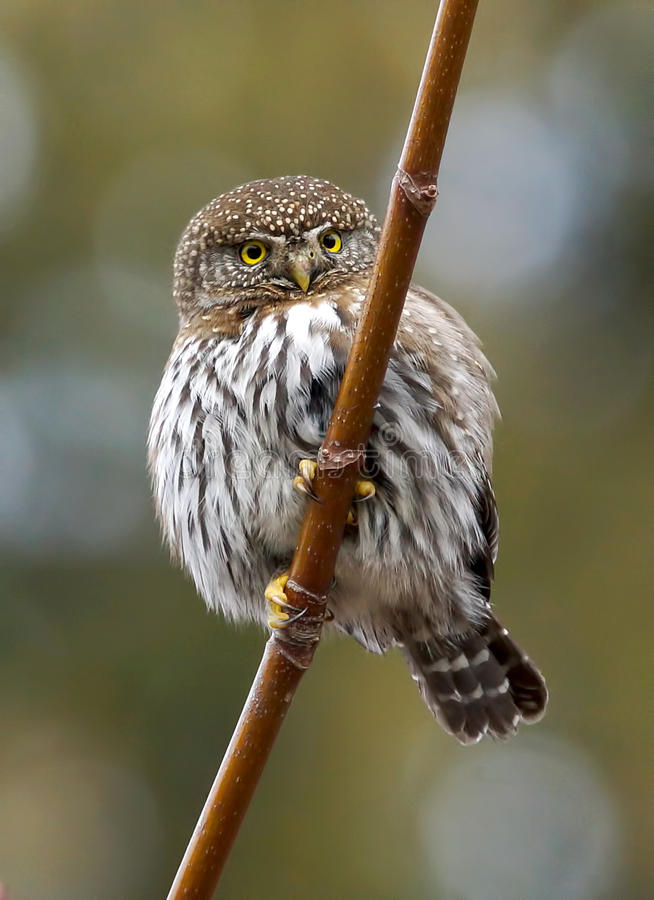 Little Owl - Glaucidium gnoma royalty free stock photos