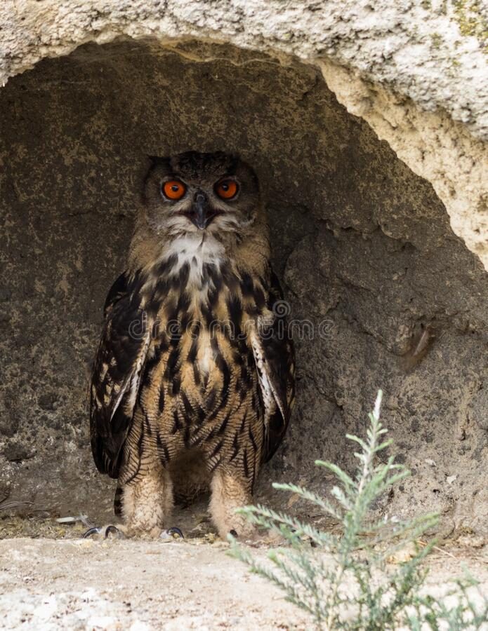 A Little Owl looking out from its hole in a wall. A Closeup Frontal Portrait of an Eurasian Eagle Owl. Wildlife concept royalty free stock photos