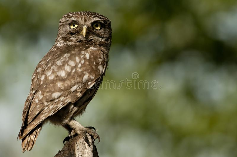 The little owl, nocturnal raptors, Athene noctua, perched on a log where the mouse hunts and small insects royalty free stock image