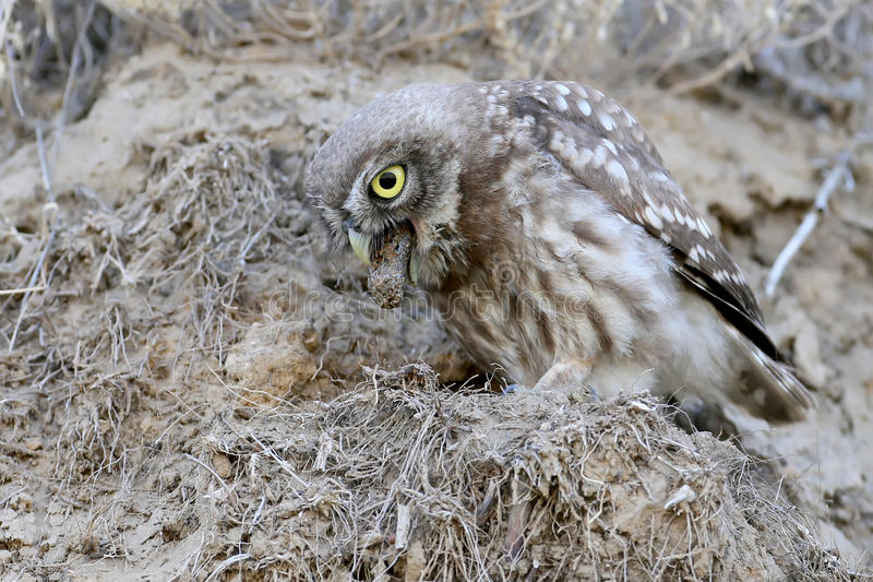 The little owl spits out the remains of food. stock photo