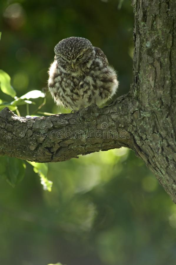 Little Owl; Steenuil; Athene noctua stock image