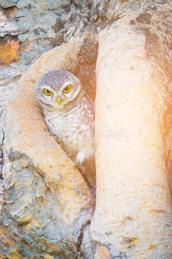 Little Owl in tree hole stock photo