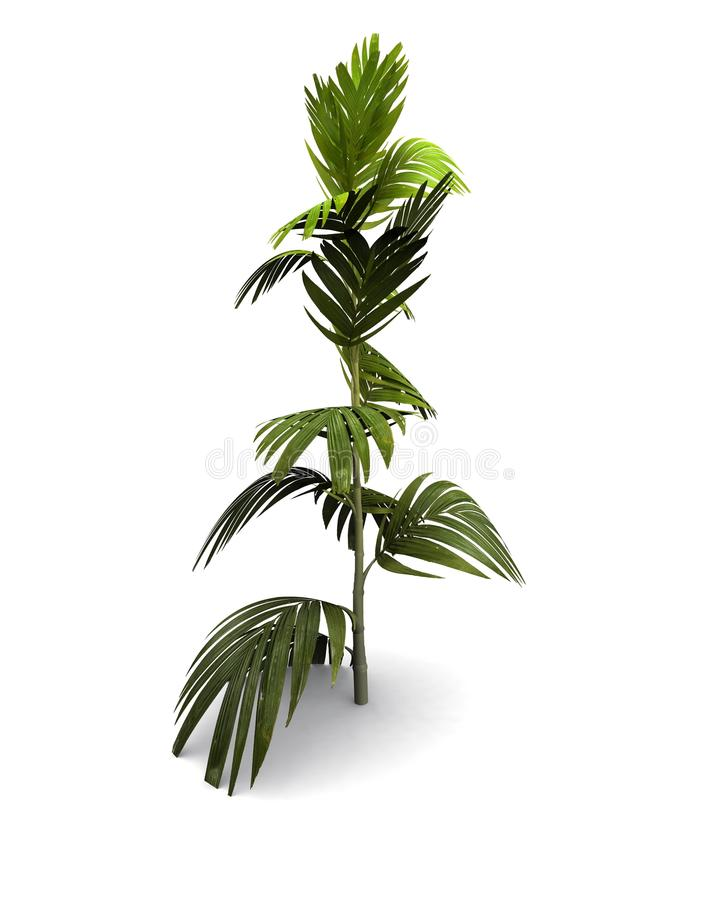 Little Palm tree royalty free stock image