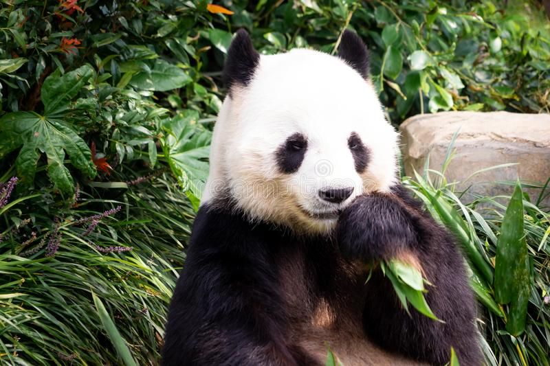 Little Panda eating bamboo leaf for lunch. Little Panda is eating bamboo leaf for lunch stock photo