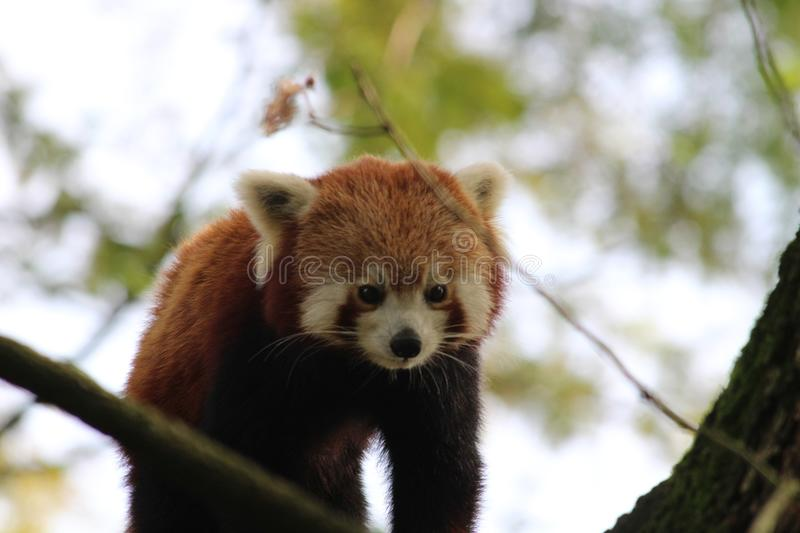 Little panda in a tree in the zoo from rotterdam. Motherlove. this little panda is just becomming a mom and looks from out a tree down to her two children. She royalty free stock photos