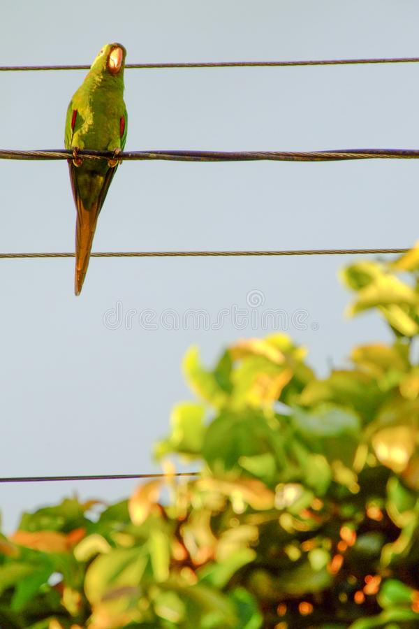 Little parrot on the wire. Little parrot bird standing on the wire. Beautiful green color tones. Different light. Tropical birds in urban area stock image