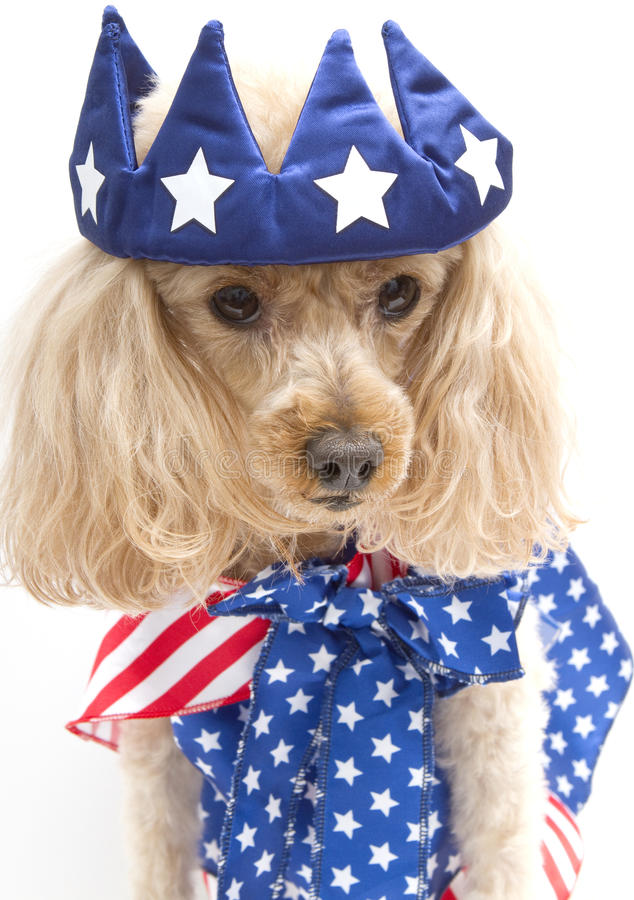 Download Little Patriotic Poodle stock image. Image of poodle - 26807665