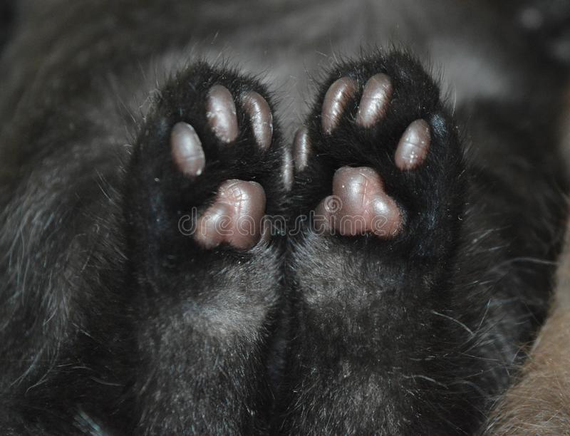 Little paws of the kitten. Black cat and his paws . Soft pads of cat`s paws. Little paws of the kitten. Black cat and his paws. Soft pads of cat`s paws stock images
