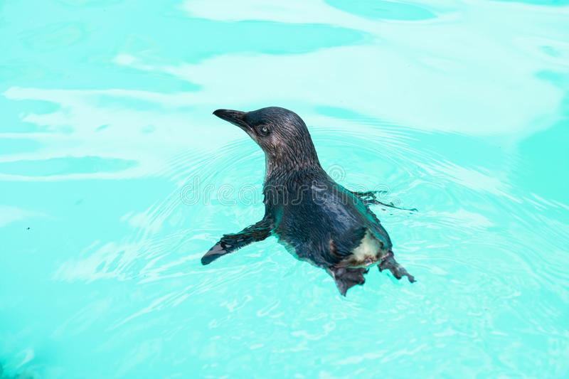 Little penguin swimming in captivity. Cute little penguin swimming in captivity royalty free stock photography