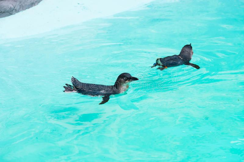 Little penguin swimming in captivity. Cute little penguin swimming in captivity royalty free stock photo