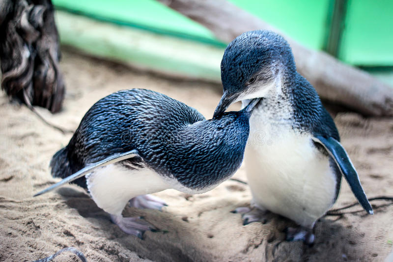 Little Penguin. Two little penguin, the smallest species of the penguins, grooming each other stock images