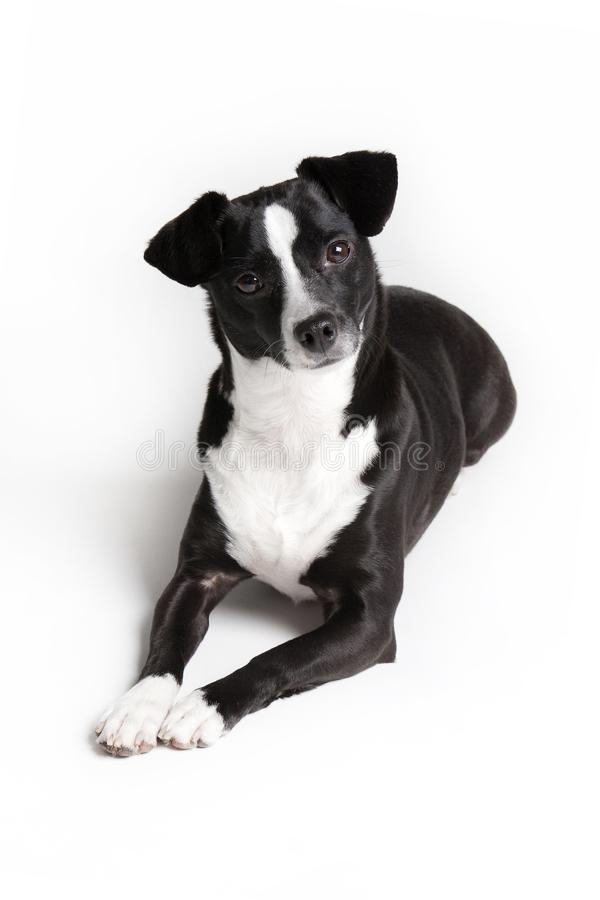Curious little pet dog against white background stock photography