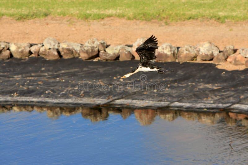 Little pied cormorant in Kangaroo Valley Australia royalty free stock photography