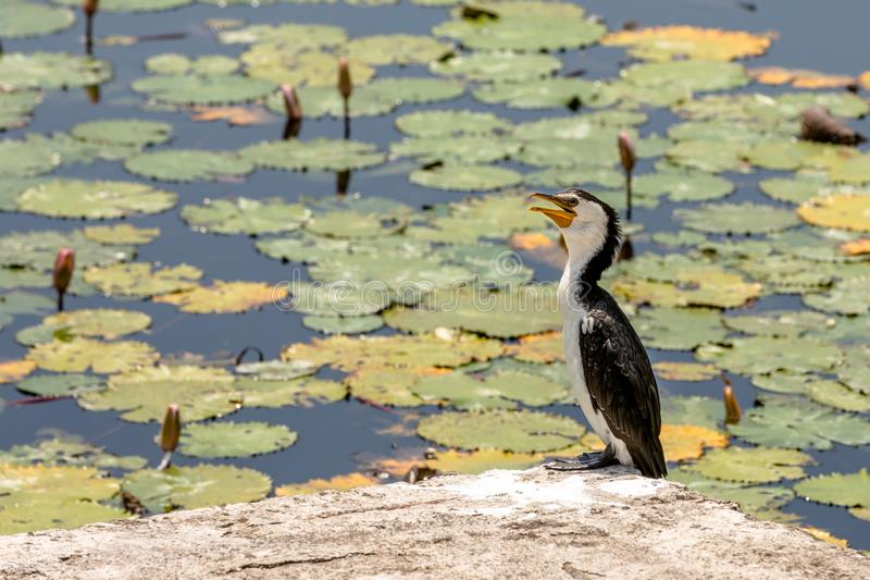 Little Pied Cormorant, Microcarbo melanoleucos, sitting on a rock in front of water lily pond royalty free stock photo