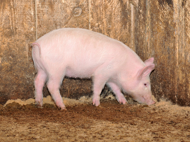 Little pig royalty free stock image