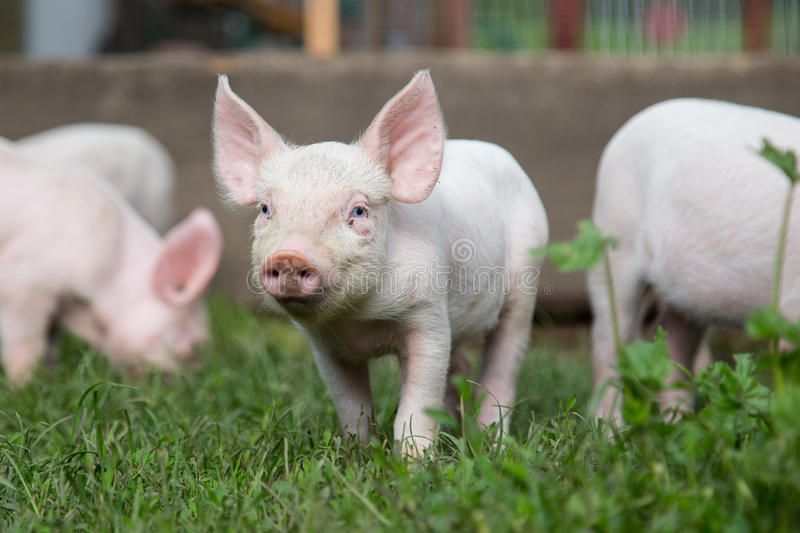 Little pig grazing on a farm with other pigs in sunny day. Little pink piggy grazing on a farm with other pigs in sunny day stock photography