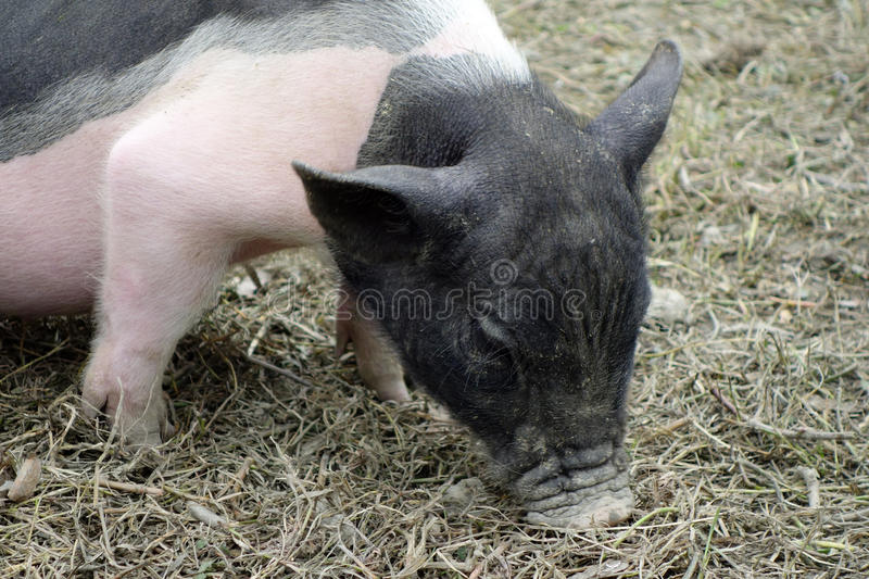 A little piggy royalty free stock image