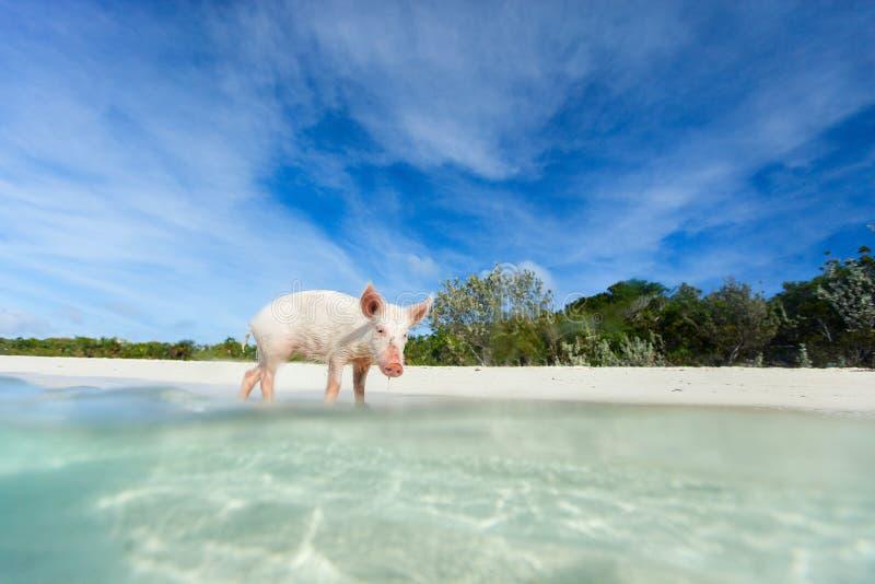 Little piglet on Exuma island. Little piglet in a water at beach on Exuma island Bahamas stock image