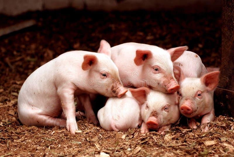 Little piglets stock photos