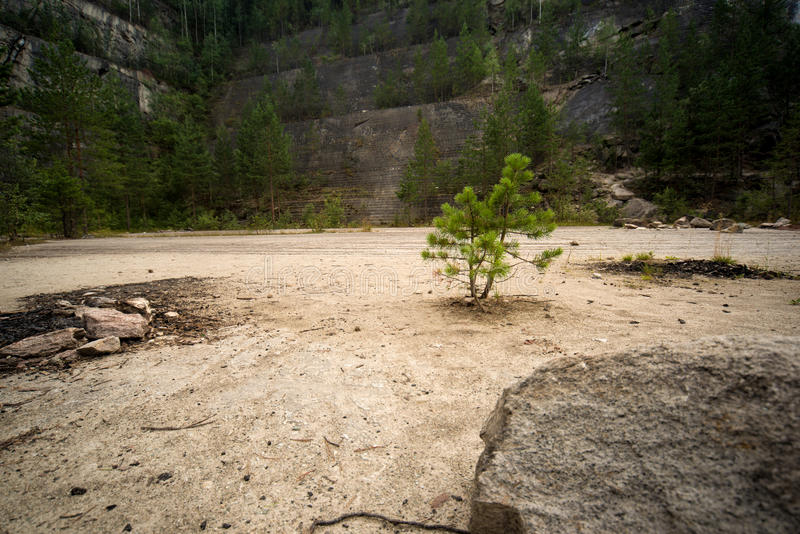 Little pine. Sprouted on the bottom of an old quarry. Forest conquering space stock images