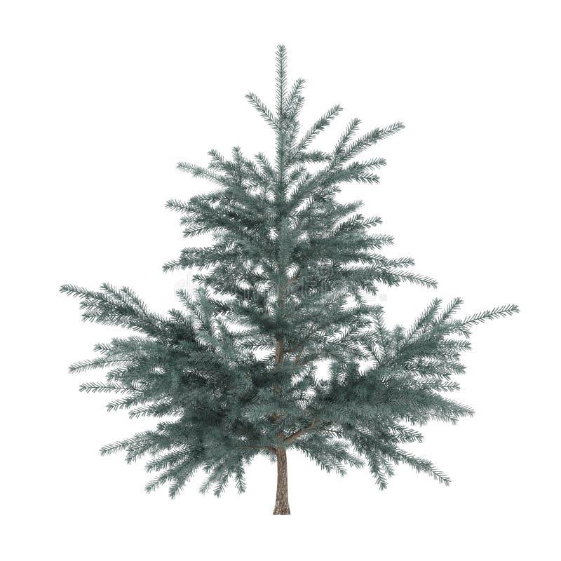 Little pine tree bush isolated. Pinus fir-tree stock images