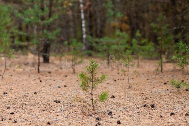 Little pine tree with cones at ground royalty free stock photos