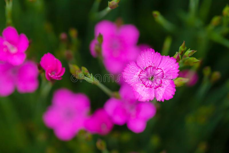Little pink Dianthus flowers open stock photography