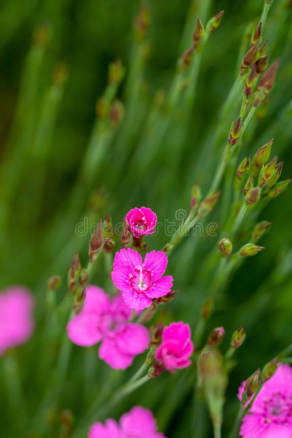 Little pink Dianthus flowers in spring stock images