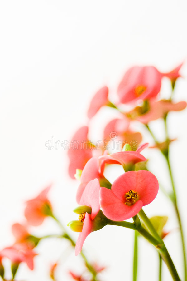 Little pink flowers royalty free stock photography