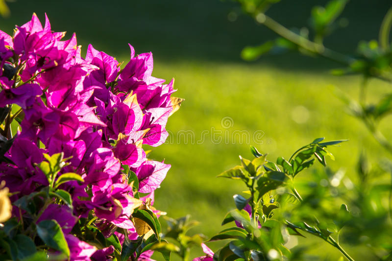 Little pink flowers on a bush close up stock image image of violet download little pink flowers on a bush close up stock image image of violet mightylinksfo