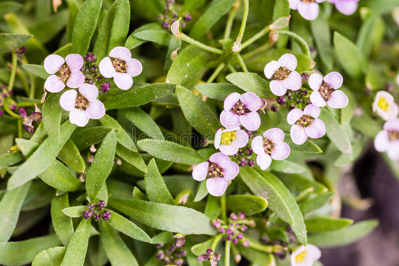 Little Pink Flowers. With four petals in a garden stock photography