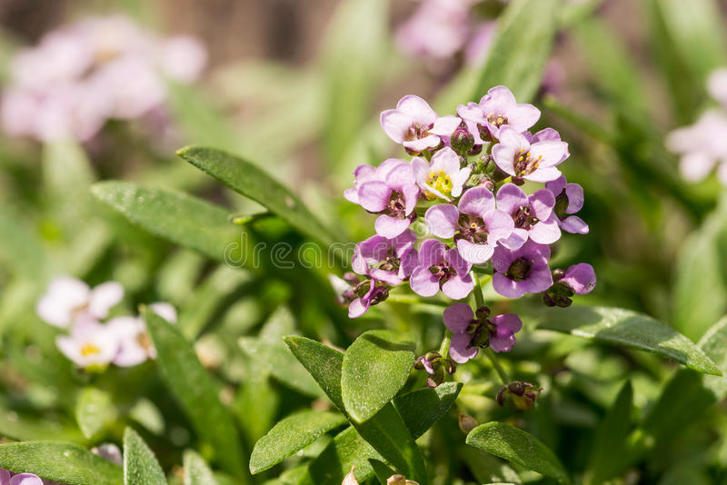 Little Pink Flowers. With four petals in a garden stock image
