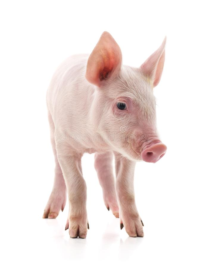 Little pink pig stock photography