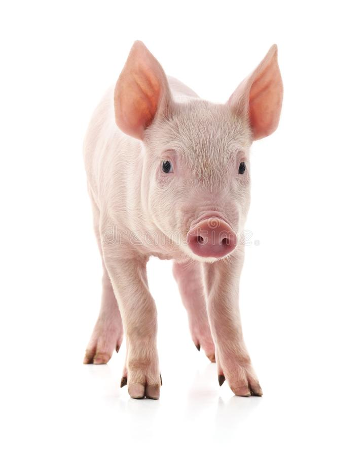 Little pink pig royalty free stock image