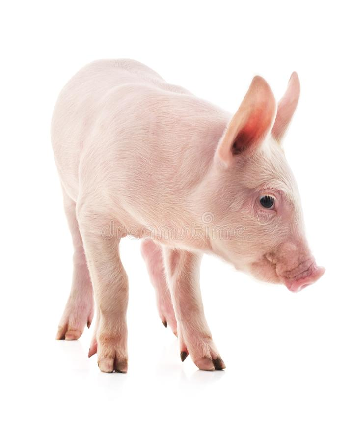 Little pink pig royalty free stock photo