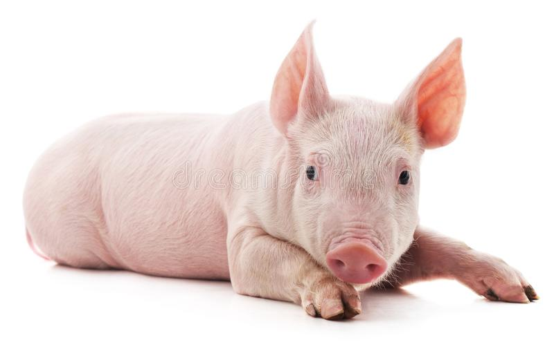 Little pink pig stock image