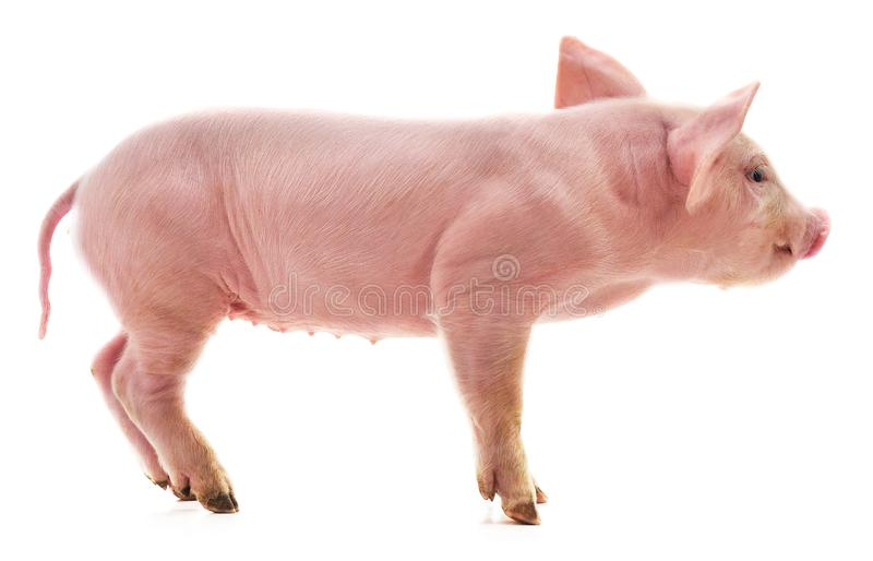 Little pink pig stock images
