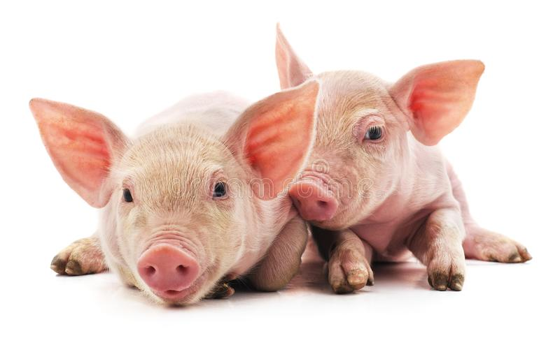 Little pink pigs stock photo