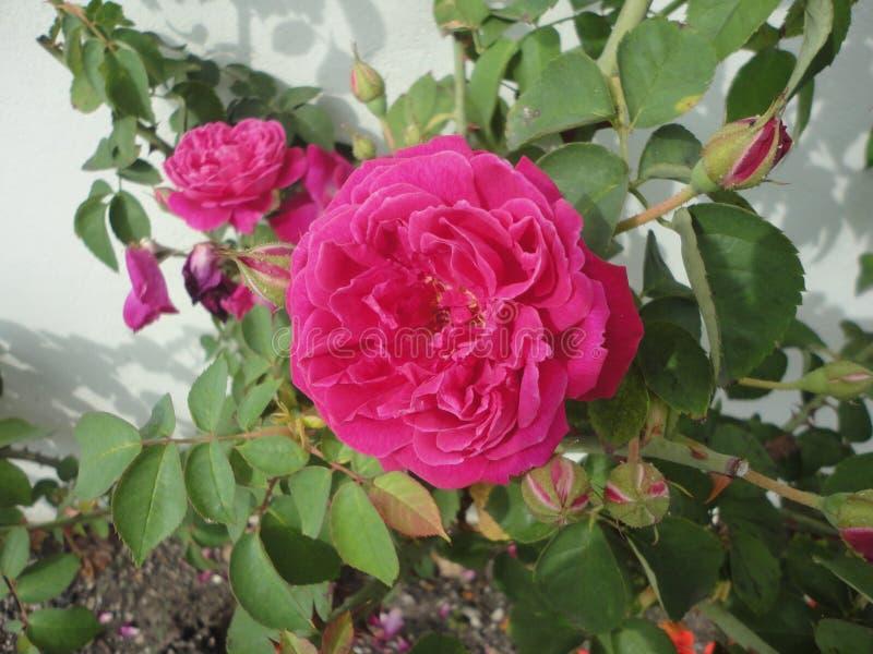 A little pink rose stock photos